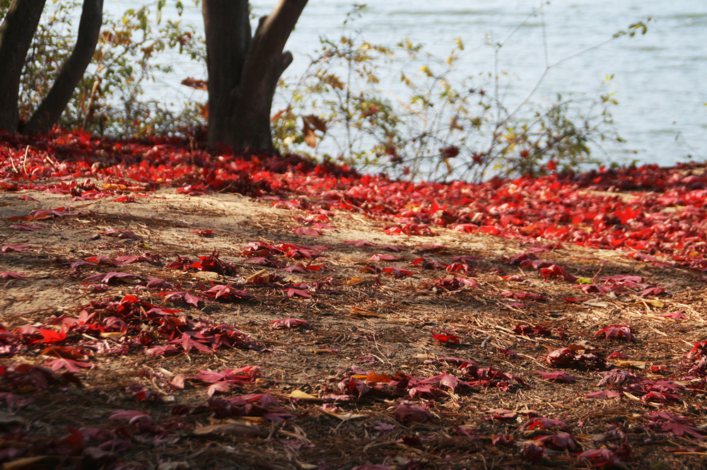 autumn leaves korea